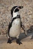 Humboldt penguin (Spheniscus humboldti). Stock Photo