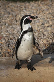 Humboldt penguin (Spheniscus humboldti). Royalty Free Stock Photography