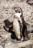 Humboldt Penguin (Spheniscus humboldti) Stock Photography