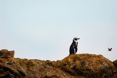 Humboldt Penguin Spheniscus humboldti alson known as Peruvian Penguin or Patranca royalty free stock photo
