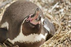 Humboldt Penguin - Spheniscus humboldti Stock Photo