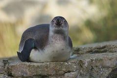 Humboldt Penguin - Spheniscus humboldti Royalty Free Stock Image