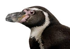 Humboldt Penguin, Spheniscus humboldti royalty free stock images