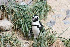 Humboldt penguin (Spheniscus humboldti). A group of Humboldt penguins (Spheniscus humboldti Royalty Free Stock Photo