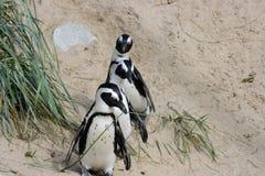 Humboldt penguin (Spheniscus humboldti). A group of Humboldt penguins (Spheniscus humboldti Royalty Free Stock Image