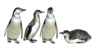 The Humboldt Penguin Spheniscus humboldti. Isolated on white background Stock Photography