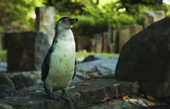 Humboldt penguin Stock Photos