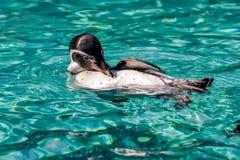 Humboldt Penguin (Spheniscus humboldti) Stock Photo