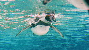 Humboldt Penguin (Spheniscus Humboldti). Several Humboldt Black and White Penguins Waving Wings and Float by the Camera in the Blue Water. Underwater 4k Uhd stock video footage