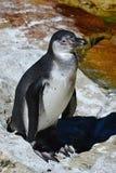 Humboldt penguin Spheniscus humboldti standing on rocky shore of artificial pond Stock Photos