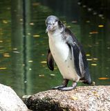 Humboldt Penguin, Spheniscus humboldti in the zoo stock photography