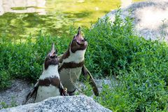 Humboldt Penguin, Spheniscus humboldti in the zoo stock image