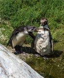 Humboldt Penguin, Spheniscus humboldti in the zoo stock photos