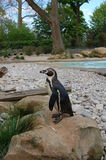 Humboldt penguin (Spheniscus humboldti) at the zoo. Royalty Free Stock Image
