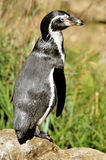 Humboldt  penguin standing Stock Images