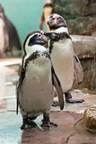 Humboldt penguin standing and looks Stock Images