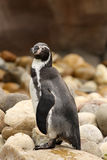 Humboldt penguin standing on a rock Royalty Free Stock Photography