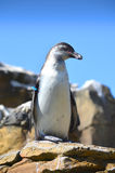 Humboldt penguin standing on a rock Royalty Free Stock Image