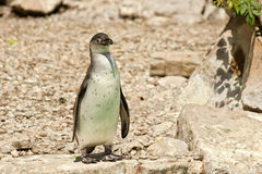 Humboldt Penguin standing on a rock Stock Images