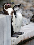 Humboldt Penguin. Standing to attention for the Humboldt Penguin National Anthem Royalty Free Stock Photos