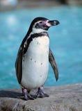 Humboldt Penguin Stock Images