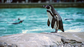 Humboldt penguin. On a stone Stock Photography