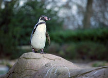 Humboldt penguin. On a stone Royalty Free Stock Images