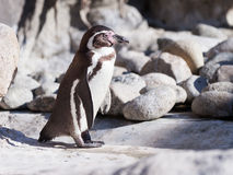 Humboldt penguin on stones Royalty Free Stock Images