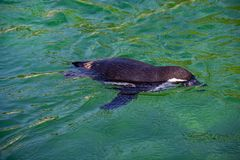 A Humboldt penguin swimming at a zoo royalty free stock images