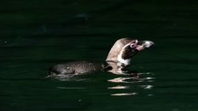 Humboldt penguin swimming stock image