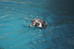Humboldt penguin swimming and looking ahead above water Royalty Free Stock Images
