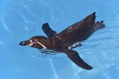 Humboldt penguin swimming Stock Photo