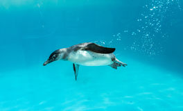 Humboldt Penguin. Swimming under the water stock images