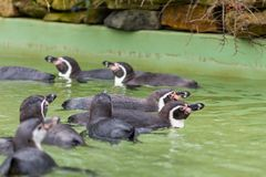 Humboldt penguin swimming in water, portrait of penguin Royalty Free Stock Image