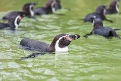 Humboldt penguin swimming in water, portrait of penguin Stock Image