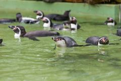 Humboldt penguin swimming in water, portrait of penguin Royalty Free Stock Photos