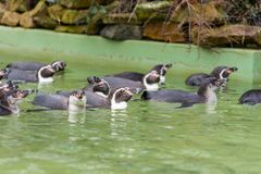 Humboldt penguin swimming in water, portrait of penguin stock photos