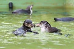 Humboldt penguin swimming in water, portrait of penguin Stock Photography