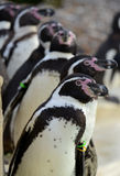 Humboldt Penguin Totem stock photo