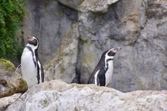 Humboldt penguin Two Bird Zoo. Humboldt penguin, Chilean penguin, Peruvian penguin, or patranca in Vienna zoo, October 2017 royalty free stock photo
