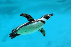 Humboldt penguin under water stock images