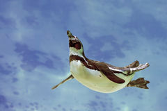 Humboldt penguin under water Royalty Free Stock Images