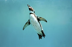 Humboldt penguin underwater swimming wings open looking Royalty Free Stock Photography