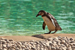 Humboldt Penguin Waddling Spheniscus Humboldti Royalty Free Stock Images