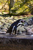 Humboldt penguin. Walking on the rock Stock Photography