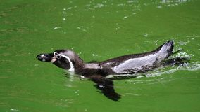 Humboldt Penguin in water Royalty Free Stock Photo
