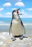 The Humboldt Penguin Stock Photos