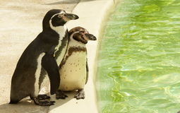 Humboldt Penguin and young Royalty Free Stock Image