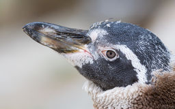 Humboldt penguin, young one stock photo