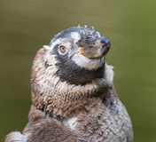 Humboldt penguin, young one royalty free stock image